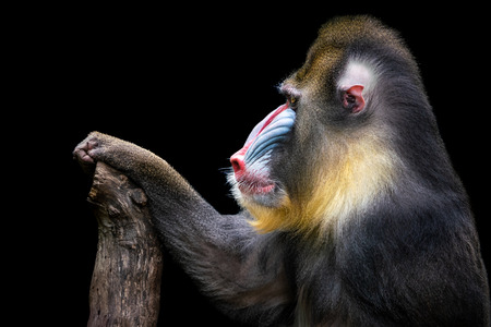 Portrait of a Backlit Mandrill Against a Black Background Stock Photo - 110479583