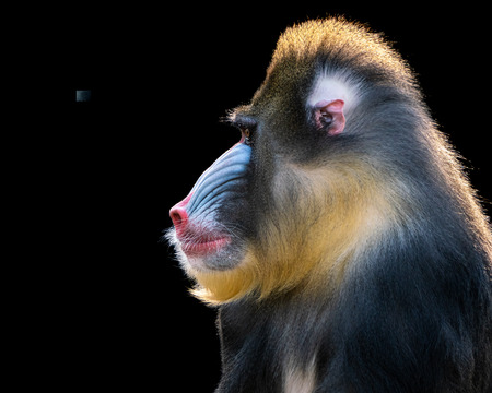 close up of a Backlit Mandrill Against a Black Background