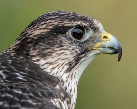Profile Portrait of a Saker Falcon Against a Green and Yellow Background Stock Photo