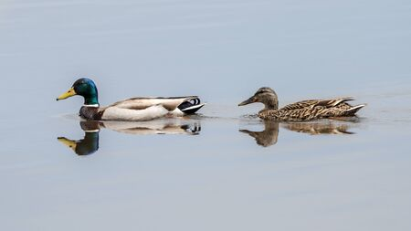 Male and Female Mallard Duck  Pair Floating in Water with Reflections