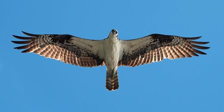 Osprey in Flight Overhead Against Blue Sky