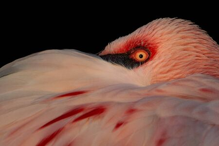 Closeup of a Resting Lesser Flamingo Against a Black Background Stock Photo