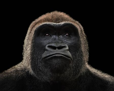 Frontal Portrait of a Western Lowland Gorilla Against a Black Background