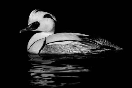 Smew Floating in Water Against a Black Background
