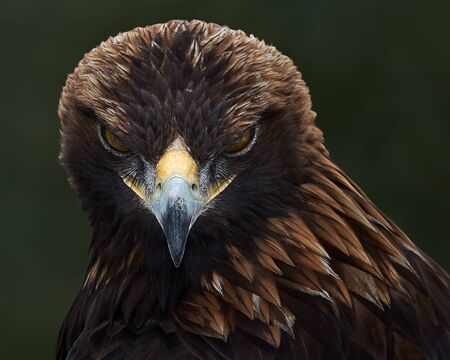 Frontal Portrait of a Golden Eagle Against a Black Background Stock Photo - 138496406