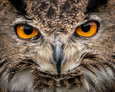 A Closeup Frontal Portrait of an Eurasian Eagle Owl Banque d'images