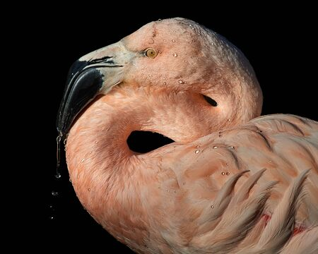 Profile Portrait of Chilean Flamingo Against Black Background Stock Photo - 141437409