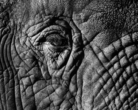 Black and White Closeup of African Elephant