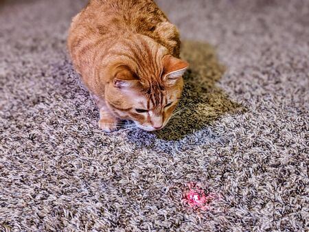 Orange striped cat staring curiously at a red laser pointer dot on the plush carpet