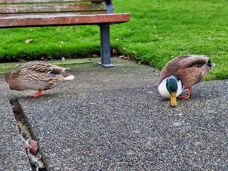 Hungry green and brow duck searching for crumbs of food on a walking path in a park by Lake Washington