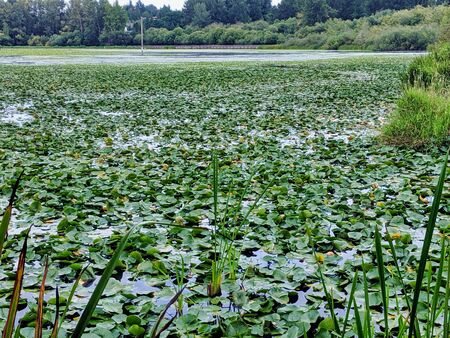 Wide landscape view of lily pads decorating the top of the water in a swampy marsh in summer