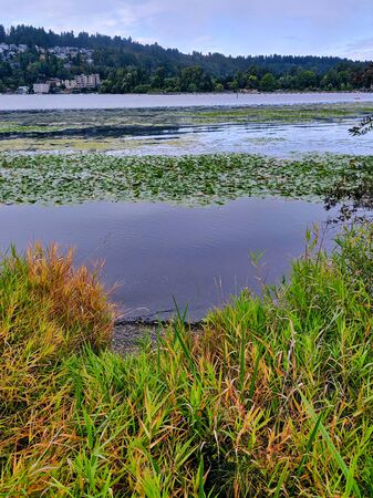 view of lily pads decorating the top of the water in a swampy marsh in summer, with a city in the distance