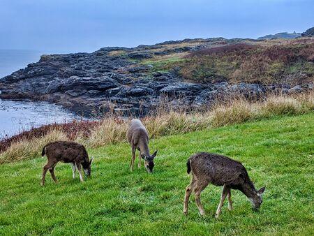 Small herd of deer eating green grass by the ocean on San Juan Island, WA. 스톡 콘텐츠
