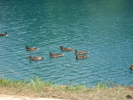 Several ducks swimming in a big fishing lake on a sunny day in East Tennessee