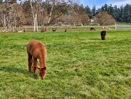 Colorful alpacas grazing in a field in Northern Washington. Standard-Bild
