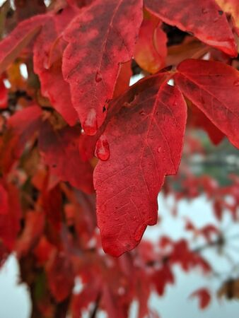 Close up of vibrant, red leaves on a tree, covering in dew drops on a rainy day Standard-Bild