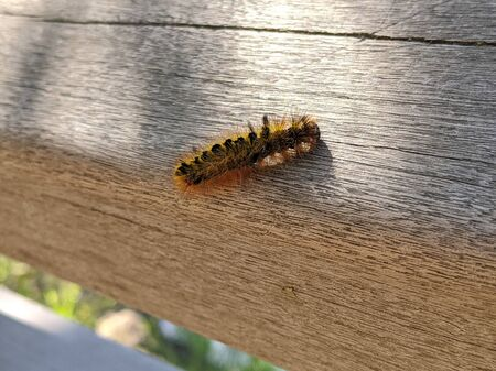 Close up of a black and yellow fuzzy caterpillar crawling on a wooden bridge outdoors on a sunny day