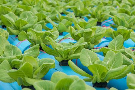chlorophyll: Lettuce in hydroponic farm