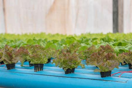 hydroponic: Lettuce in hydroponic farm