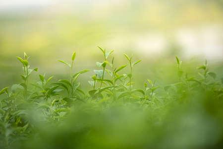 Grüntee-Shooting im Garten für Bio-Kräuter-Heißgetränkematerial Standard-Bild