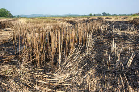 Rice stump burning field after harvesting leading to global warming and climate change