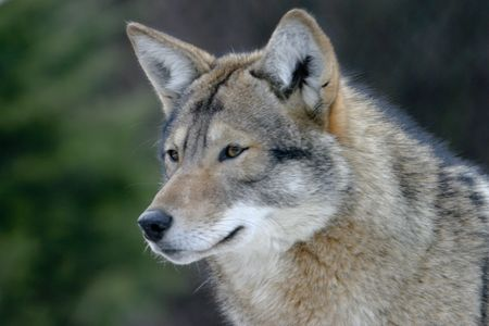 A coyote looking into distance with golden eyes