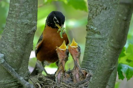 A mother robin feeding two baby robin chicks