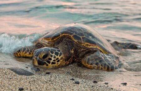 A sea turtle rests ont he sands as waves wash over him