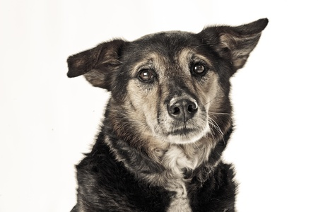 shephard: Sad rescue dog Stock Photo