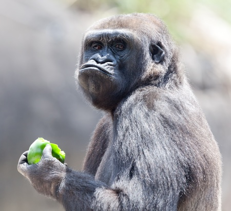 Gorilla eating apple Stock Photo