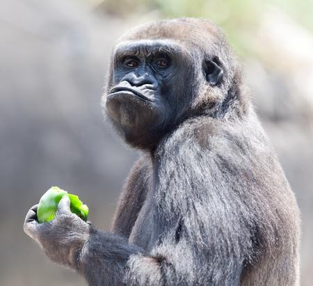 apes: Gorilla eating apple Stock Photo