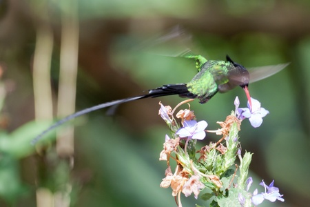 billed: Red-billed streamertail hovering Stock Photo