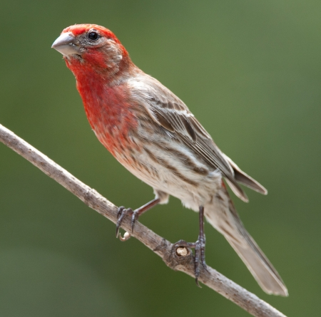 Male house finch perched on branch photo
