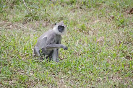 tropica: Monkey in jungles of Sri Lanka ,Hanuman-Languren