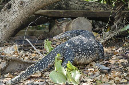 salvator: close up Water monitor lizard, Varanus salvator
