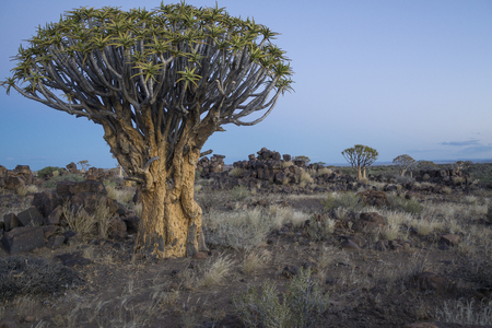 view over the Quiver tree forest (Aloe dichtoma) near Keetmanshoop