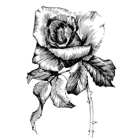 ローズ インクで描いた花のベクトル図とライン ・ アート。花のイラスト。