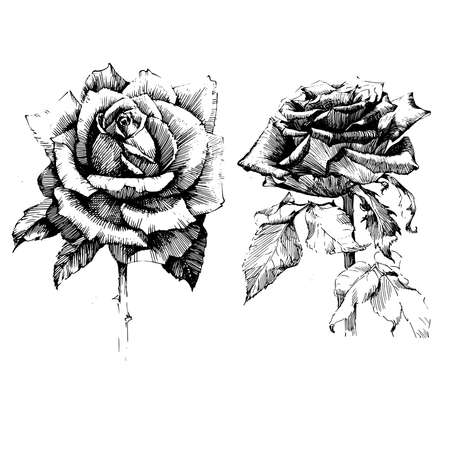 Rose Ink drawing flower vector illustration and line art. Floral illustration. Illustration