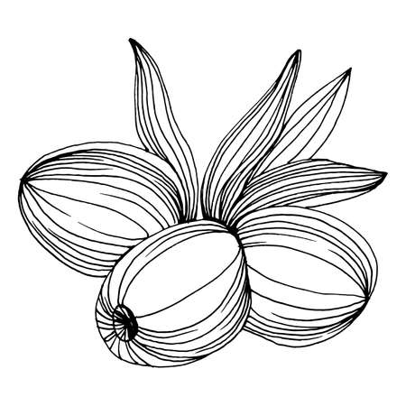 Olive sketch element. Olive branches isolated. Vector hand drawing illustration. 向量圖像
