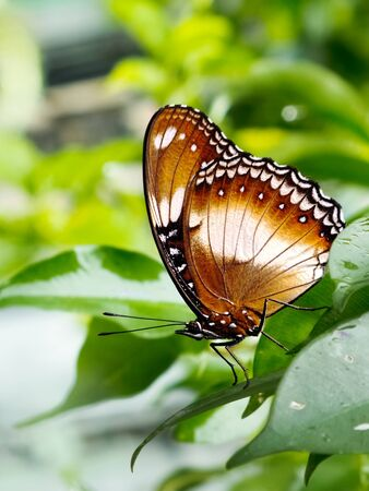 countrysides: A beautiful butterfly  Hypolimnas bolina  resting on weeping fig leaves on rainy day  This butterfly also known as Blue Moon Butterfly or Common Eggfly