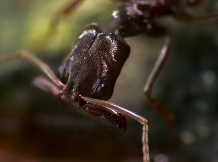 animal trap: Trap Jaw Ant or Odontomachus bauri with Wide Open Appendages in Humid Ground