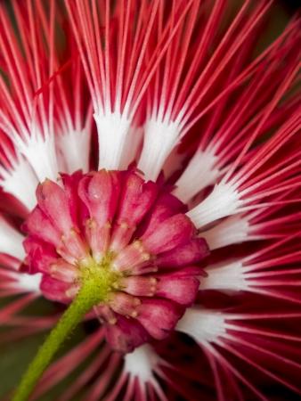 blomming:  Red Power Puff Flower, Calliandra tergemina