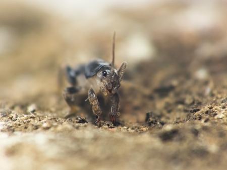 saboteur: Mole Cricket Digging Ground Gryllotalpa hirsuta