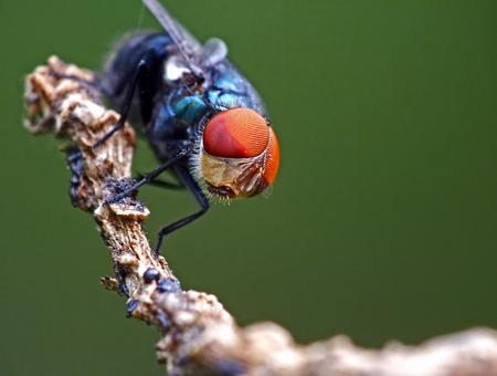 latrine: Fly Chrysomya megacephala with green background