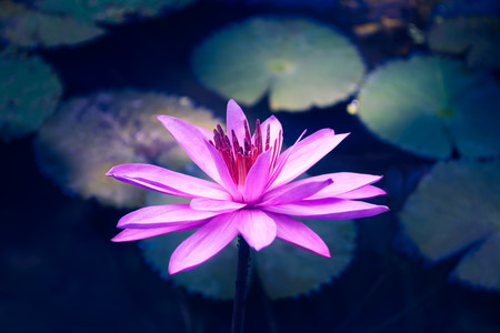Lotus flower blooming in moonlight 免版税图像