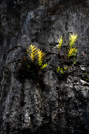 Green fern leaves growing on hard granite volcanic rock and glowing by the sunlight. Concept of overcoming difficulty and stand out in harsh environment