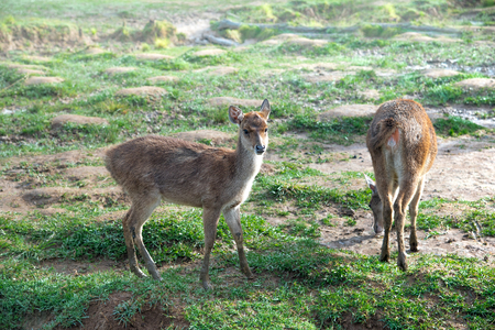 Small Deer or Doe on Green Pasture or Meadow or Grassland At Misty Morning During Sunrise. The Deer is Without Antlers