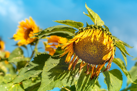 Withered Big Sunflower After Full Blooming. Early Harvest in Sunflower Farm Plantation.