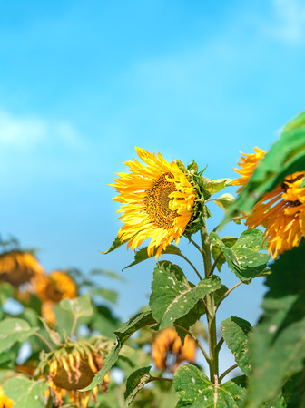 Sunflower Facing East at The Sun After Sunrise. Sunflower Blossom At Bright Morning Day with Blur Withered Flower in Background. Concept of Happiness, Stand Stall and Optimistic