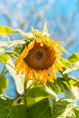 Sunflowers Bloom On Garden Farming At Sunrise. Common Sunflower or Helianthus annuus Blossom In The Morning With Soft Pastel Color Blue Sky. 免版税图像